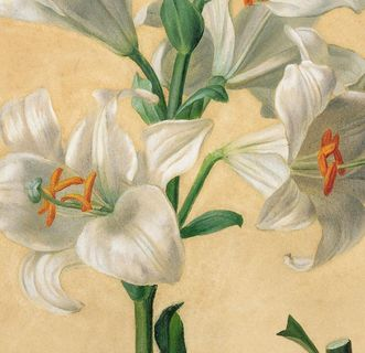 "Illustration of a lily (""Lillum Candidum"") by Carl Gruber. Image: Wikipedia, in the public domain"