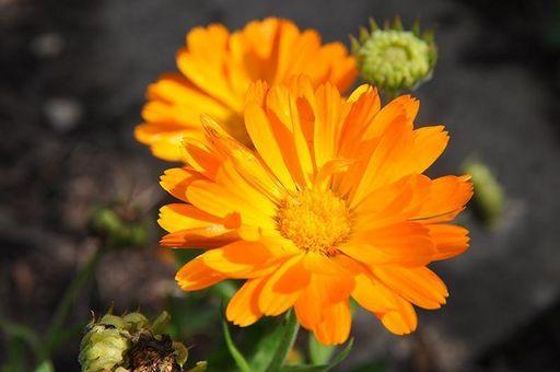 Image: Marigolds